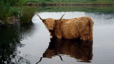 Scottish Highland cattle ~