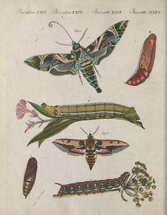 "Plate XXVI. ""Two kinds of hawk moths."" Bilderbuch für Kinder, Vol IV. 1802."
