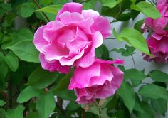 Hot pink colours from S Dreux's roses, Dorset