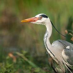 Attentif au moindre 🐟 qui passerait par là... . 🐦 Héron cendré - Ardea cinerea - Grey Heron . 📷 Raymond ITCHAH . . . #orniteich #birds #bird #birdwatching #birdwatcher #birdphotography #birdoftheday #instabird #birdofinstagram #instapic #wild #wildlife #wildlifephotography #nature #naturelovers #naturephotography #outdoor #instagram #picoftheday #animals #photooftheday #photography #photo #environnement #reserve #outdoors #bassindarcachon #gironde #leteich #ecotourism