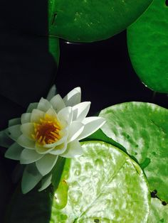 Lily pads on Flowing Lake