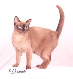 The Renegade Flashpoint, Champagne Burmese