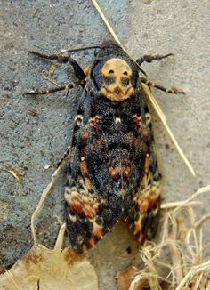 Tagged with Awesome; Shared by Deaths head hawk moth Beautiful Bugs, Beautiful Butterflies, Sphynx, Death Head Moth Tattoo, Moth Tattoo Meaning, Deaths Head Moth, Cool Bugs, Hawk Moth, Bugs And Insects