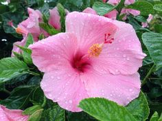 Pink Hibiscus Flower    •    Earn money by selling your photos online   •    Register for free on PicsaStock    •    https://www.picsastock.com/#/users/HudieGram