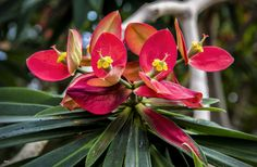 https://flic.kr/p/D1spsQ   The Exotic   Beautiful exotic flower at the Myriad Botanical Gardens in Oklahoma City.