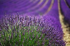 Lavender field by Pinny Vooh, via Flickr