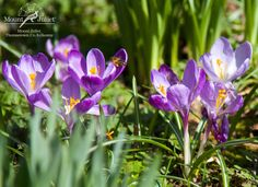 Some beautiful spring flowers at Mount Juliet Estate. A great time to take a break away on 1,500 acres in the heart of Co. Kilkenny.  © http://www.mountjuliet.ie