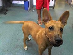 SAFE --- PUPPY at Miami Kill Shelter GINGER  (A1584314) I am a female brown and white German Shepherd Dog mix.   The shelter staff think I am about 15 weeks old.   I was found as a stray and I may be available for adoption on 12/31/2013 — hier: Miami Dade County Animal Services. https://www.facebook.com/photo.php?fbid=694780367223036&set=a.470960256271716.114441.191859757515102&type=3&theater