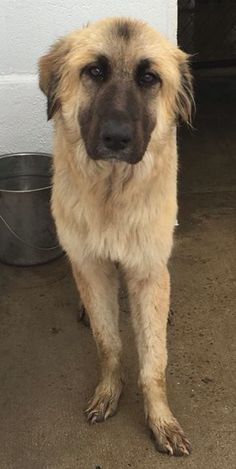 #FOUNDdog 1-8-16 #TX Kennel 10 #GermanShepherd mix? Female Very quiet and sad.  Surely she is someone's beloved dog. She seems so lost. The owner recovery rate at this shelter is almost nonexistent.  So if not reclaimed please let's restore the hope in this big girls eyes!! NUECES County Animal Control #Robstown #Texas Fmi (410) 608-2195 @ k-10 Nueces County https://www.facebook.com/permalink.php?story_fbid=1733787656853811&id=1606820082883903