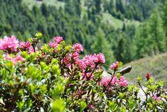 Le api amano i rododendri.  www.visitfiemme.it