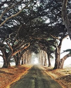 A gorgeous tree alley on the way to Point Reyes Lighthouse.