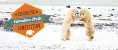 Win a trip to see wild polar bears face to face Polar Bear Face, Polar Bears, Win A Trip, Photojournalism, Arctic, Travel Ideas, Trips, Explore, Adventure