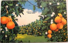 vintage postcard... Florida oranges