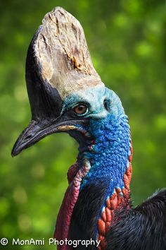 Southern Cassowary by MonAmi Photography on 500px
