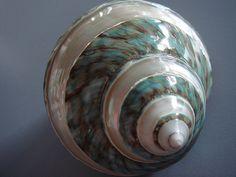 "Banded Pearl Green Jade Turbo Seashell by ""M"" PEARL, via Flickr"
