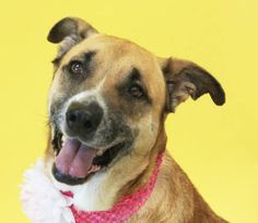 Hello, I'm Andrea, and I'm about 7 years old. The DFW Humane Society rescued me from another shelter that was overcrowded; at the time, I had heartworms but have been treated. I was pregnant, but they placed me in a foster home where I got lots of love and attention. Now my pups are adopted. I'm very excited to get my own special family that I can love!
