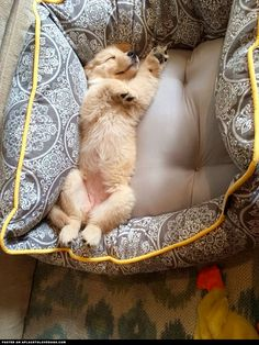 Golden Retriever Puppy Enjoying Her Bed Visit our poster store Rover99.com