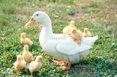 Mommy and her ducklings. Farm Animals, Animals And Pets, Funny Animals, Cute Animals, Beautiful Birds, Animals Beautiful, Canard Colvert, Duck And Ducklings, Baby Ducks