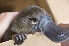 20+ Baby Platypus images | baby platypus, platypus, duck billed platypus