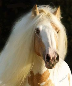 A Gypsy Horses facial profile should be straight, neither overly dished nor roman nosed.  A sweet head, more refined than that of most draft horses, is desired.  The GHAs breed standard states that the head may be sweet, a small, tidy pony type head,--meaning without coarseness and in proportion with the body.