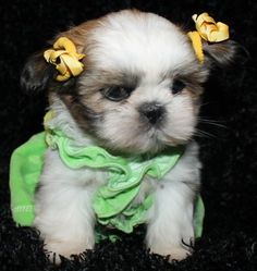 """You know what this puppy is thinking? """"I hate my life! I know I'm tiny and cute but do I really need a dress and bows"""" LOL"""