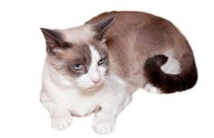 """Snowshoe cats, known for their blue eyes and white """"snowshoe"""" feet, act more like people than cats. These intelligent felines can learn tric..."""