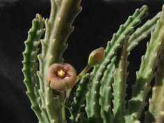 Stapelia erectiflora  is a clump-forming succulent, up to 6 inches (15 cm) tall. Stems are shortly decumbent, 4-ribbed, with small...