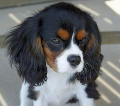 Cavalier+King+Charles+Mix | Lizzie the Cavalier King Charles Spaniel | Puppies | Daily Puppy