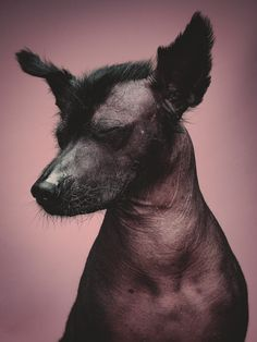 juan the xolo dog - by Klaus Dyba