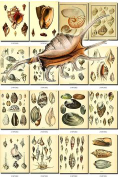 SHELLS-14 Collection of 218 vintage images sea clamshell pearl