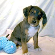 Fayetteville, TN: 3 M TWC/Aussie mix pups @ Humane Society of Lincoln County