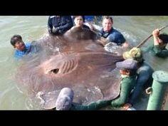 จับปลากระเบนยักษ์ วิธีแล่ปลากระเบน ที่น่าตื่นตาตื่นใจ giant stingray