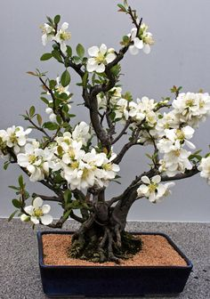 Multi-trunk style bonsai in bloom. Flowering bonsai are often put in glazed pots, of brighter colors compared to conifers: mostly put in unglazed earth tones