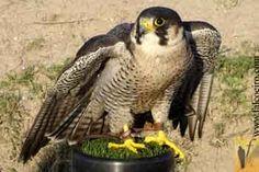 pilgrim falcon - Buscar con Google