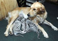 Golden Labrador breastfeeding White Tigers