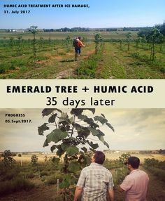 Emerald tree (paulownia hybrid) after ice damage & organic humic acid treatment. Fantastic results in 35 days! Watch the video: