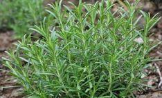Rosemary Seeds (Rosmarinus officinalis) Heirloom Herb Seed Gardern Home Herb Garden, Garden Plants, Balcony Garden, Terrace, Rosemary Flower, Vanilla Plant, Bonsai Seeds, Detox Your Liver, Sprinklers