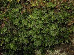 Kuvahaun tulos haulle hymenophyllum wilsonii