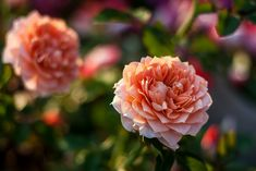 Mini Roses by drpavloff, via Flickr