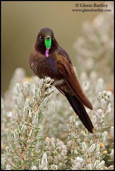 Blue-Mantled Thornbill (Chalcostigma stanleyi) is a species of hummingbird in the Trochilidae family. It is found in Bolivia, Ecuador, and Peru. Rare Birds, Birds 2, Small Birds, Colorful Birds, Pretty Birds, Beautiful Birds, Hummingbird Pictures, Bird Identification, Birds In The Sky