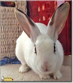 Read Seren's story the Rabbit from Kent, England, UK and see her photos at Pet of the Day http://PetoftheDay.com/archive/2014/December/30.html