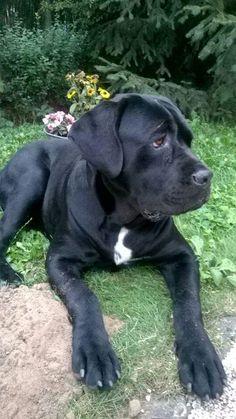 Cane Corso pup