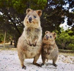 Mother and baby Quokka  ♡
