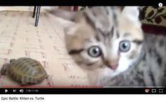 video:   Epic Battle: Kitten vs. Turtle