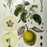 Miracolul din magnifica ceapă   Holisterapia