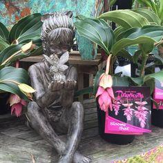 Beautiful little girl and her fairy sitting amongst the Medinilla! #medinilla #gardenstate #PenfieldNY