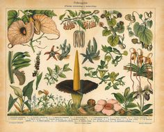 Plants Pollination Antique Chromolithograph  Home by carambas, $22.00