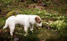 My Jack Russel Terrier Milli Cute Creatures, Terrier, Puppies, In This Moment, Sweet, Animals, Candy, Cubs, Animales