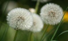 dandelion by svitakovaeva