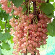 Rose Currant 'Gloire de Sablon' ~ perfect for pies and jams, as well as garnishing and decorating desserts.